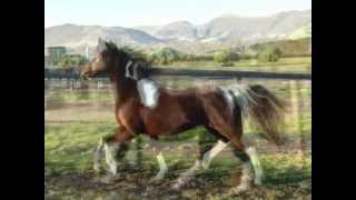 For Sale: Flashy American Saddlebred tobiano mare, 4 tall stockings, Breeding/riding