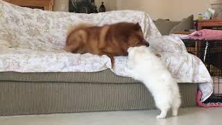 American Eskimo puppy challenged an older Finnish Spitz 6