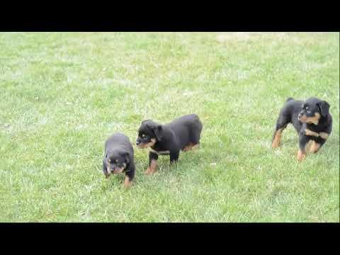 Rottweilers For Sale Leroy Byler