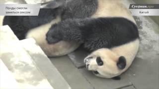 Китайских панд заставили размножаться