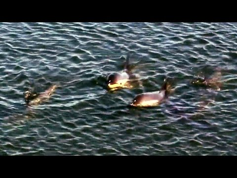 Struggle for survival: Trapped dolphins running out of time