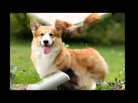 beautiful pictures of dog breed Welsh Corgi Pembroke