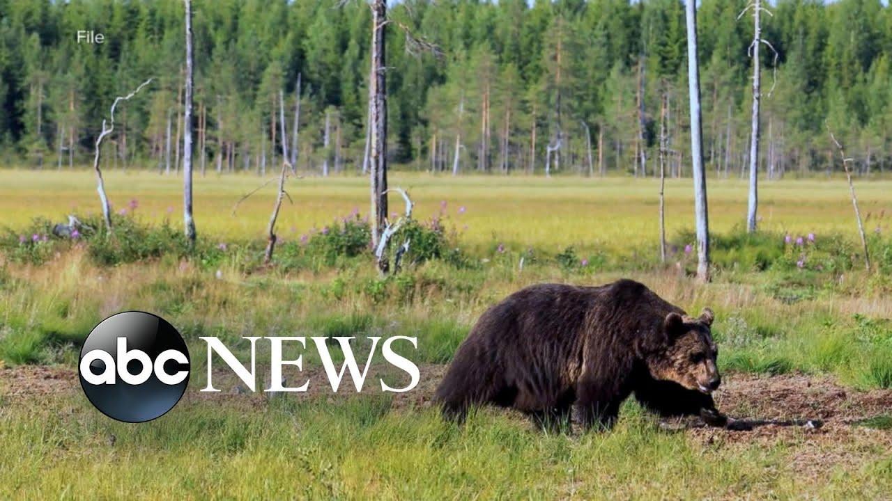 Bear attacks hiker at Yellowstone National Park, causes 'significant ...