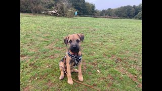 Hamish the 4 month old Border Terrier puppy  2 Weeks Residential Dog Training