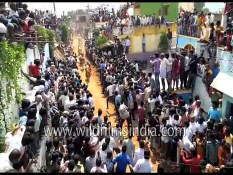 Jallikattu : Bull-taming sport in Tamil Nadu, India