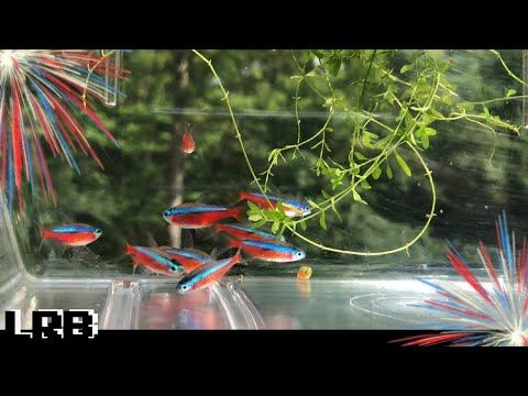 Cardinal Tetras Are Going Back Outside To The Wild