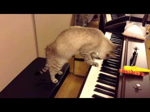 Cat Gives A Concert Of Classical Music For Free!