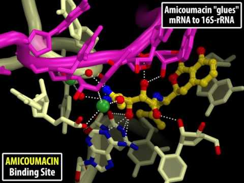 Mechanism of Action of the Antibiotic AMICOUMACIN on the 70S Ribosome