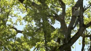 Acorns and Oaks-Studying the Acorn Woodpecker in California