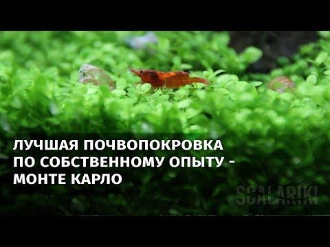 Самое лучшее почвопокровное растение для аквариума Монте Карло