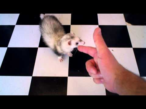 'Puppy' the Ferret Shot Dead