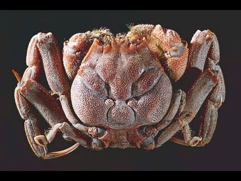 Heikegani: The Crab With A Hum...