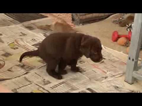 labrador chocolade pups