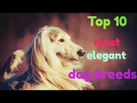 Top 10 most elegant dog breeds   dog zone India 