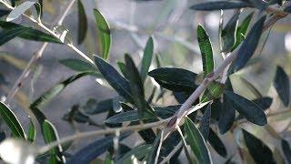 Un'annata senza olive. Le interviste agli agricoltori e ai frantoiani