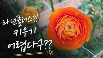 [후니네농장] 사랑스런 라넌큘러스(Ranunculus) 를 집에서 키워보자.