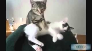 Приколы с котами 2016  Видео 1