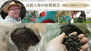 高麗人参の栽培 日本での栽培風景|泰盛社