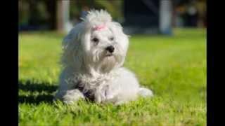 Maltese Terrier Bakımı