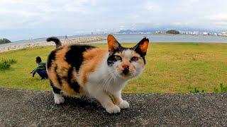 防波堤に座ると三毛猫がモフられに来た