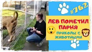 ЛЕВ ПОМЕТИЛ ПАРНЯ и другие Приколы с Животными Funny Animals 762