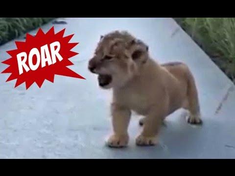 Tiny Lion Cub Has The Cutest Roar Ever Youtube