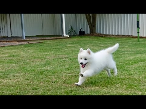 Akira's Second Video - 10 week old Japanese Spitz