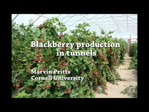 Blackberry Production In Tunnels
