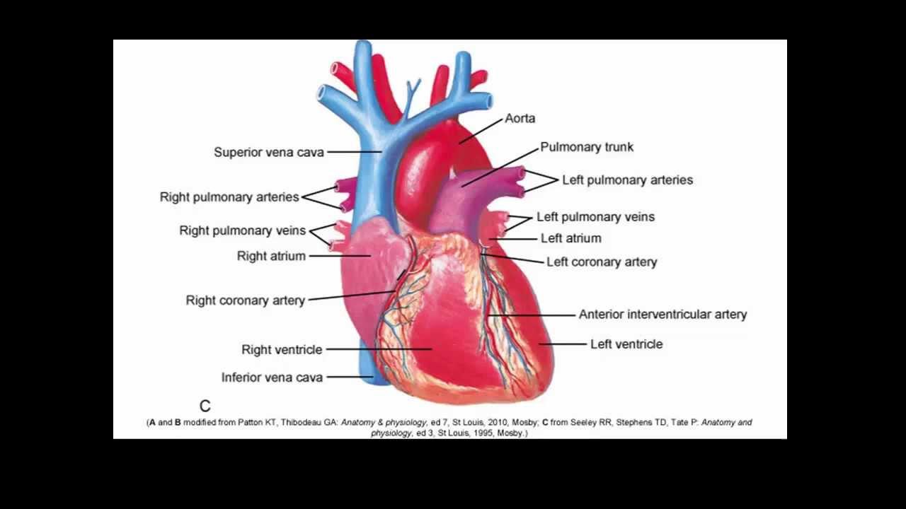 Ausgezeichnet Coronary Artery Anatomy And Physiology Zeitgenössisch ...