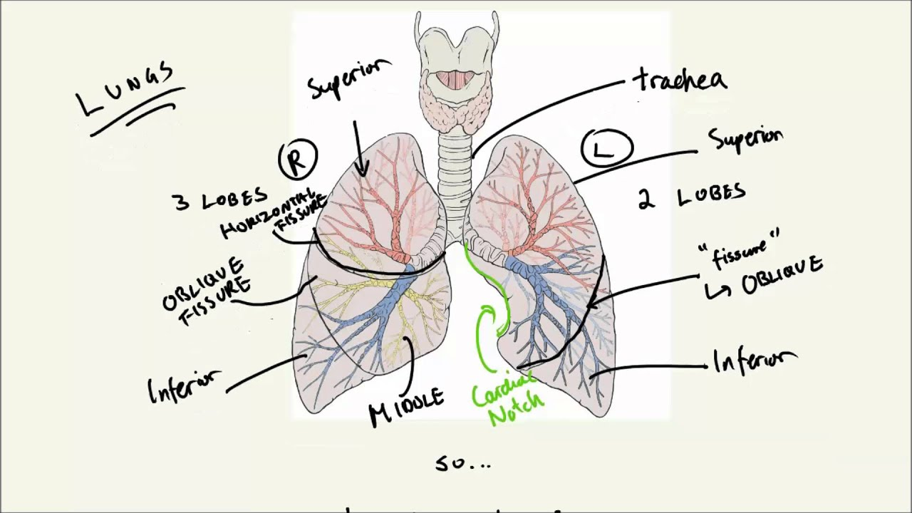 Lungs part 1 basic structure and inhalation youtube lungs part 1 basic structure and inhalation ccuart Images