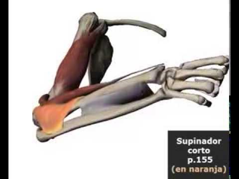 Músculos en la supinación del antebrazo - YouTube