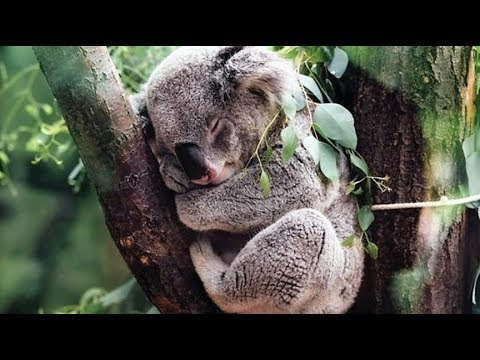 10 Interesting Fun Facts About Koalas