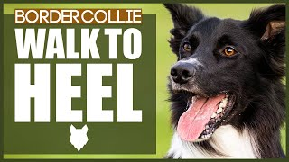 How To Get Your BORDER COLLIE To WALK TO HEEL