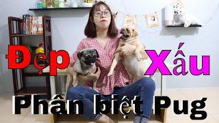 Phân Biệt Chó Pug Xấu & đẹp | Chưa xem clip này thì đừng mua chó