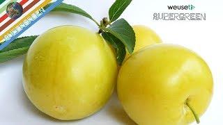 Potatura susino Regina Claudia gialla (potatura di mantenimento di un susino Claudia con Ernesto) 4k