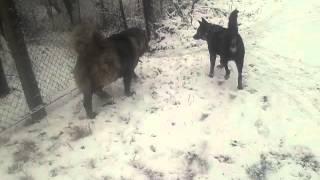 Кавказская овчарка против овчарки(, 2013-11-27T10:46:32.000Z)