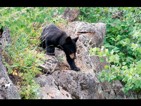 Black Bear Jam in Yellowstone