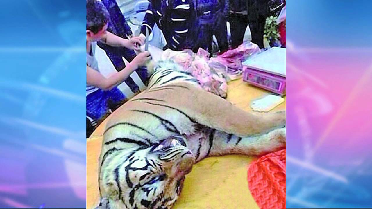 chinese businessman jailed for 13 years   eating tiger penis   red pix