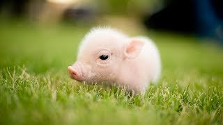 Funny and Cute Piggy - Cutest Piggy in The World