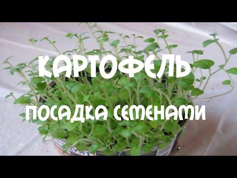 Картофель Посадка картофеля Супер-элит семенами легко и просто