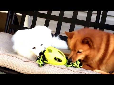 Finnish Spitz is getting along well with American Eskimo