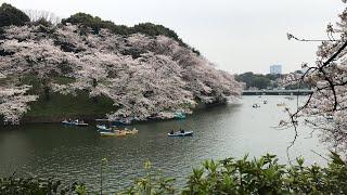 日本一周女ひとり旅255日目。東京の千鳥ヶ淵から桜Live