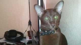Фаина ориентальная кошка