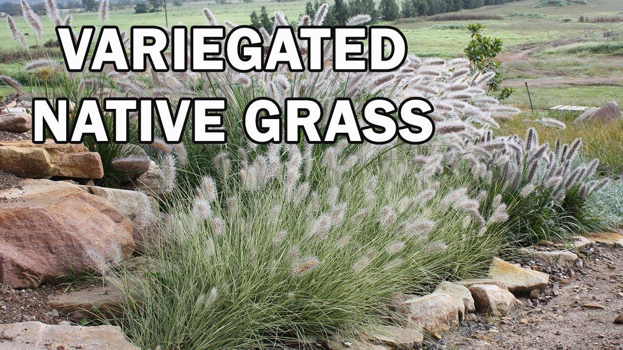 pennstripe u2122 is a beautiful variegated ornamental native grass