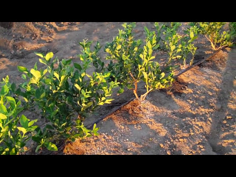 Planting And Ing Blueberries Tips