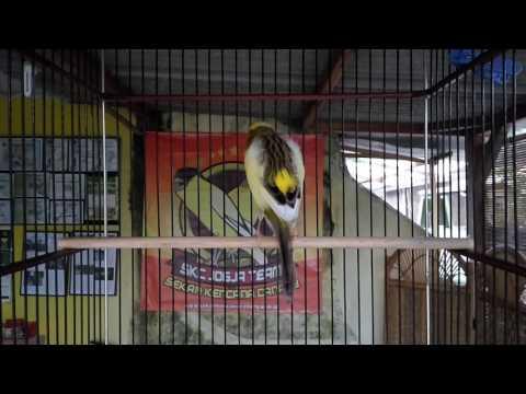 Free Download Suara Burung Kenari Isian Ciblek