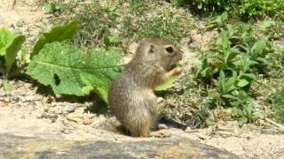 ベルン動物公園のヨーロッパハタリス(ジリスの仲間)の子供が両手で何...