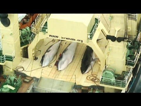 Japón desoye a la ONU y seguirá cazando ballenas en la Antártida