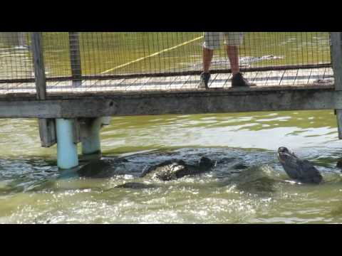 Zookeeper Jimmy Bravely Feeds American Alligators with BITE FORCE of 2,000 Pounds Per Square Inch! A