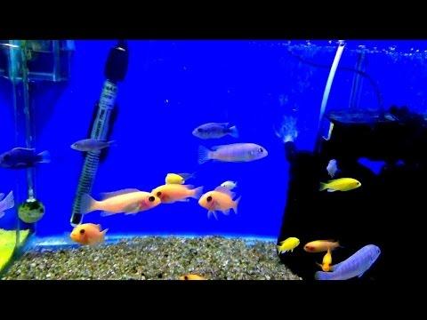 Цихлиды Малави - цветное украшение аквариума